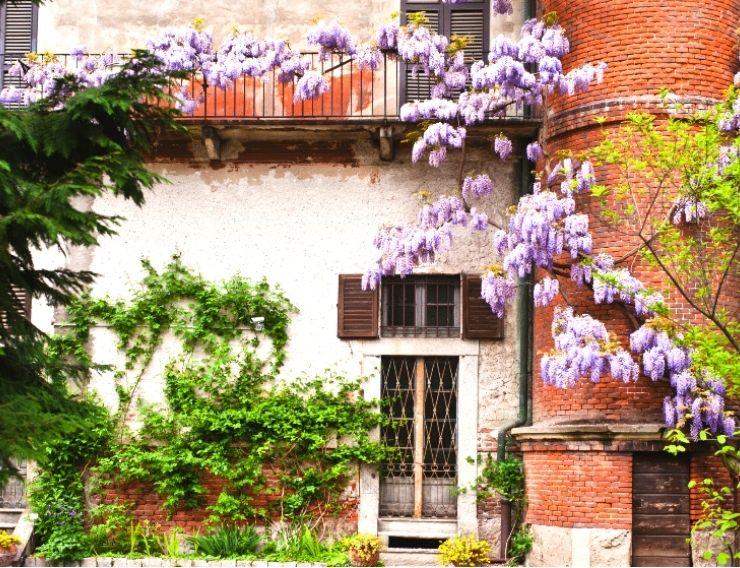 glicine Milano